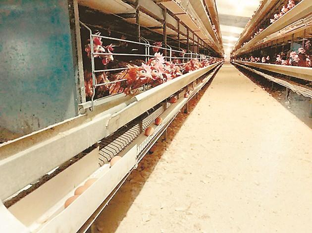 Многогодишната селекционна работа позволява създаването на уникална статистическа система C-BLUP, която ускорява двойно селекцията при кокошките носачки