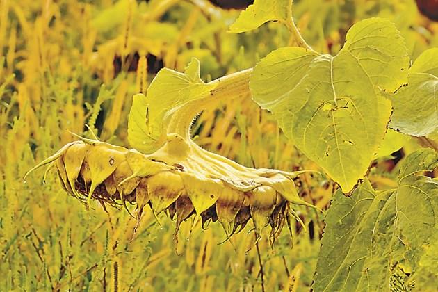 Мониторингът на слънчогледа трябва да е през цялата му вегетация