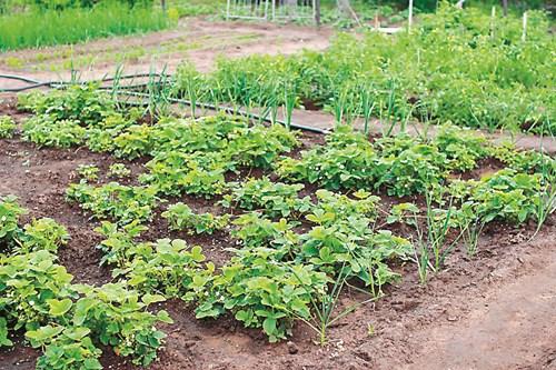 Лятно засаждане на ягоди