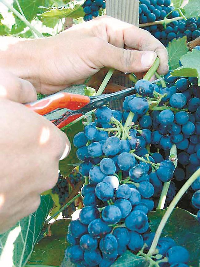 Прибирайте гроздето, като спазвате изброените правила