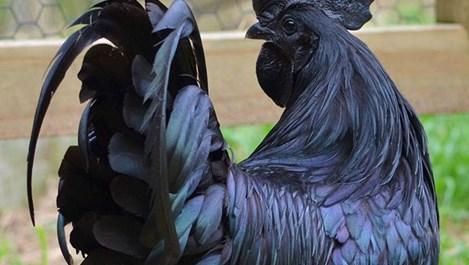 Аям Семани - птицата с черна кръв и богатството (галерия)