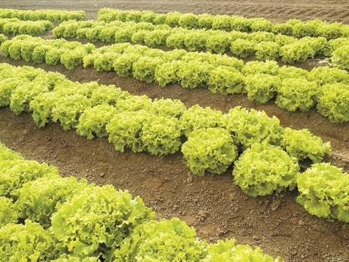 Пелетираните семена за зелени салати - за удобство и за висока ефективност