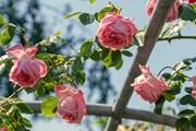 Поканете царица Роза и на балкона