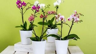 Орхидеите цъфтят с месеци, ако ги отглеждаме правилно