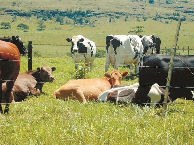 При обновяване на стари пасища е важно добитъкът да се пасе, преди поникването на новите семена, за да може животните да изядат вкоренените миналата година растения