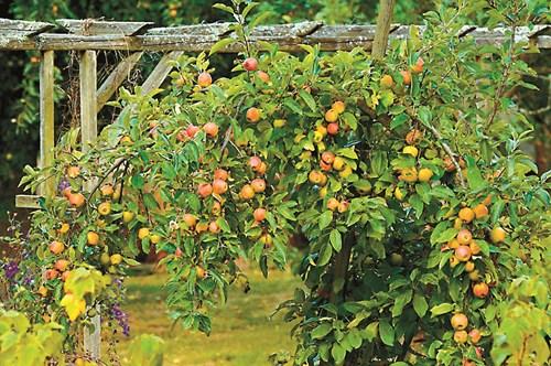 Овошки и за декоративен ефект