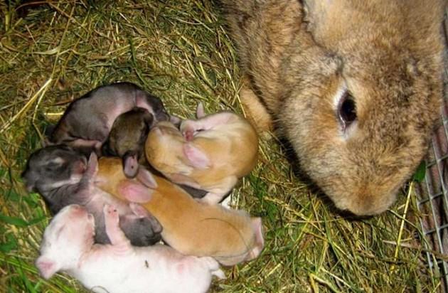 Първите дни след раждането наблюдавайте поведението на зайкинята - отношението й към малките, както и състоянието на млечните й жлези