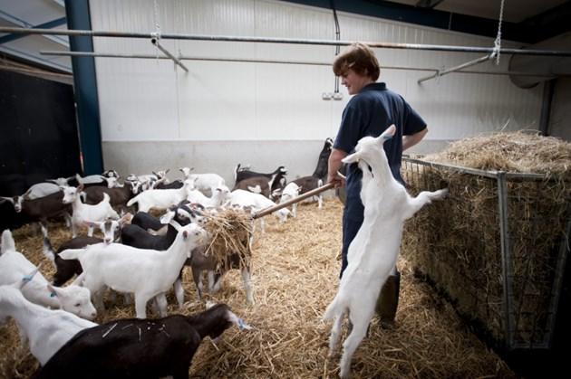 В една семейна козеферма се отглеждат около 100 кози