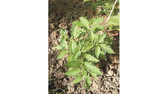 Ранни домати – може само на юг