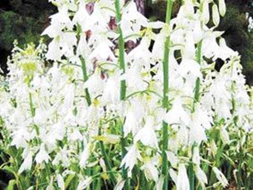 Галтонията е рядко стайно цвете