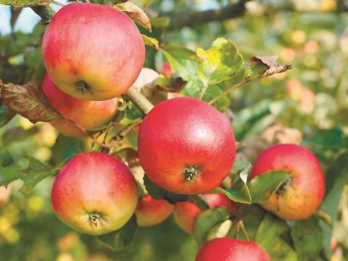 5 популярни сорта ябълки