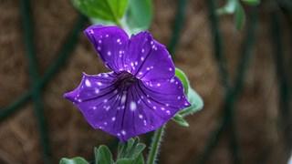 Кои цветя издържат на засушаване