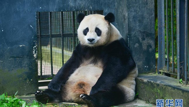 Пандата Цаоцао роди близнаци