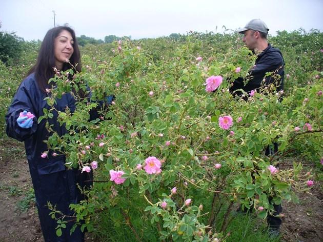 Розобер в градините на Института по розата в Казанлък СНИМКА: Ваньо Стоилов