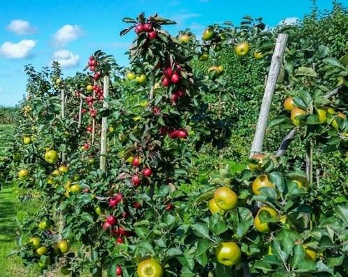 Ябълка, формирана като палмета