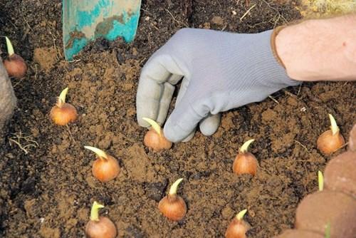 Правила за засаждане на луковичните цветя
