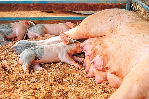 Стопаните трябва да следят раждането на прасенцата и когато приключи – да ги сложи да засучат коластра