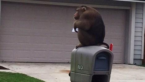 Избягала маймуна изяде пощата на съседите и потроши патрулка (видео)