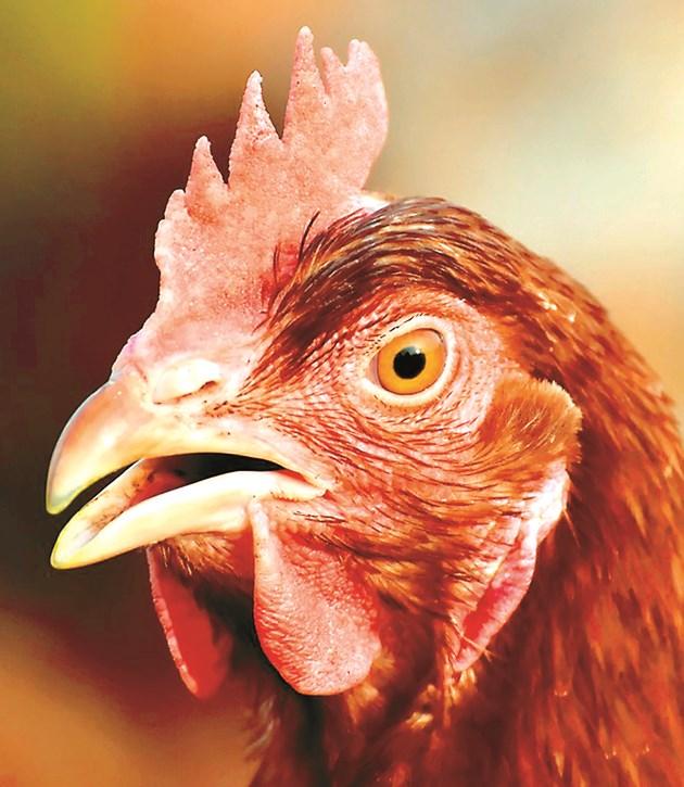 Дишането с отворена човка е един от симптомите на простуда при кокошките