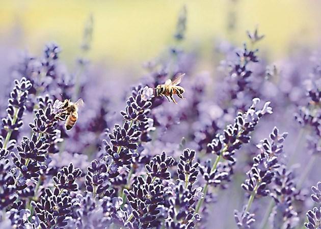 Лавандулата осигурява голяма паша и пчелите събират от нея значителни количества изключително ароматен мед. Дъждовете в Добруджа обаче пречат на пчелите и медът е малко.