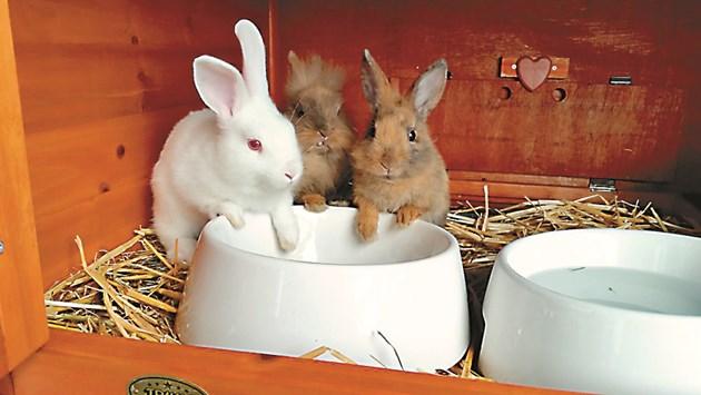 При хранене на зайчетата до 2 месеца царевицата трябва да бъде едро смляна. Защото брашнестият й вид образува каша, която запушва червата
