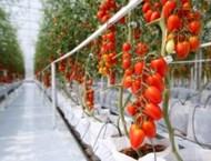 Защо доматите имат пластмасов вкус сега
