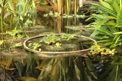 Водните растения красят и пазят езерцето