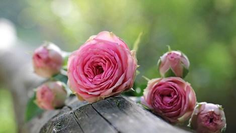Грешки при отглеждането на рози