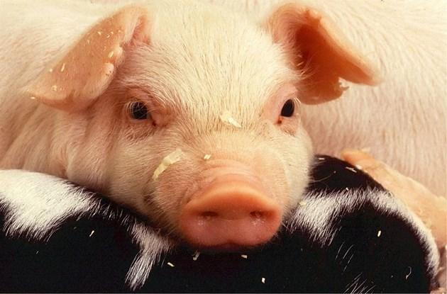 Цената на свинското у нас скача с над 60% до края на годината