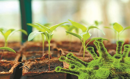 Сеченето – бич за разсадите