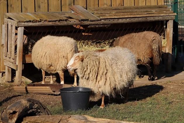 Отглеждате ли овце, винаги трябва да разполагате с качествено сено