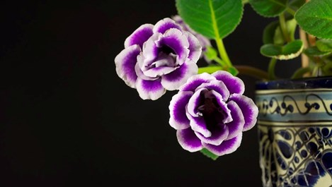 Глоксиния - цвете за ценители