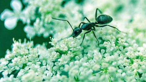 Природни средства, с които прогонваме мравките