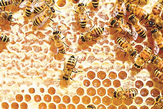 В стомаха на пчелата нектарът се смесва с протеините и ензимите, които го превръщат в мед