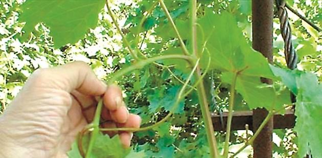 Прищипването е премахване на растежния връх на леторасъла