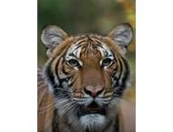 Тигър в зоологическата градина в Ню Йорк е заразен с коронавируса