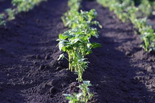 Важни грижи запосева с картофи