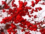 Илекс украсява зимата в червено