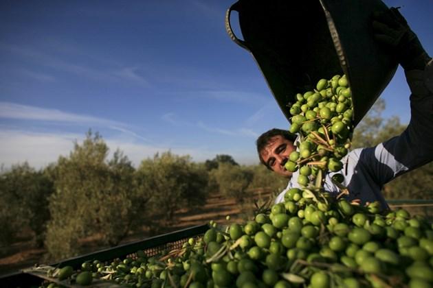 България ще конкурира Гърция по маслини