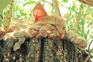 Малките котенца започват да издават вибриращият звук, още когато са само на няколко дни.
