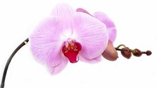Как се размножават домашните орхидеи