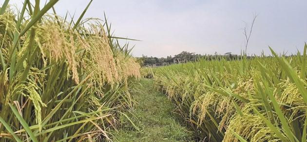 Оризът е основна храна за голяма част от населението в света