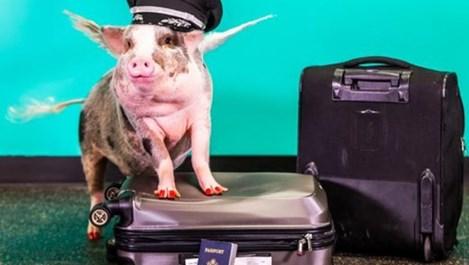 Летище се сдоби с терапевтично прасенце