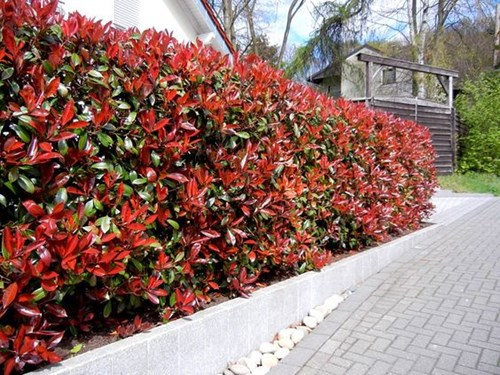 Червена фотиния за красива жива ограда