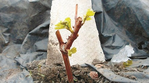 Пролетното засаждане на лози - за и против