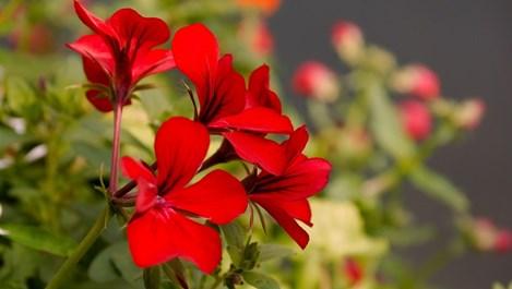 Цветя за здраве и късмет
