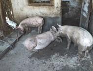 Как се съхранява свинското, за да няма ботокс