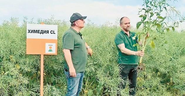 Светослав Серафимов (вляво) и Георги Петков показаха рапичните хибриди на полето