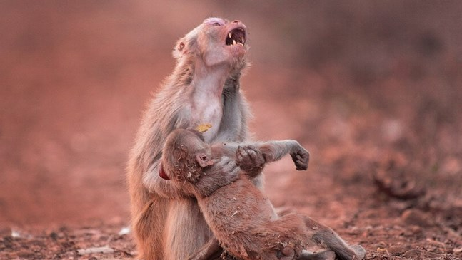 Сърцераздирателната снимка на майка маймуна, която плаче, когато детето й колабира
