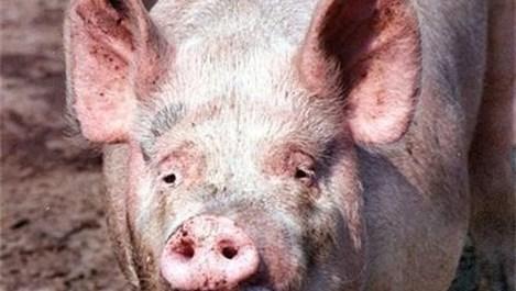 Учени: Органи от прасета може да се трансплантират на хора